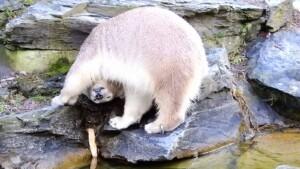 Eisbären-Teenie Hertha feiert Geburtstag im Tierpark