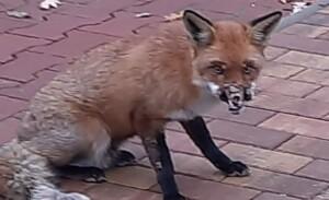 Armer, kleiner Fuchs, was ist dir bloß passiert?